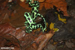 Green-and-black poison dart frogs fighting [costa_rica_la_selva_1048]