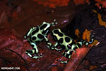 Green-and-black poison dart frogs fighting [costa_rica_la_selva_1050]