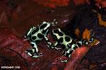 Green-and-black poison dart frogs fighting [costa_rica_la_selva_1050]