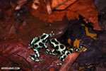 Green-and-black poison dart frogs fighting [costa_rica_la_selva_1051]