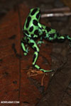 Green-and-black poison dart frogs fighting [costa_rica_la_selva_1052]