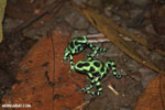 Green-and-black poison dart frogs fighting [costa_rica_la_selva_1056]