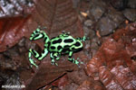 Green-and-black poison dart frogs fighting [costa_rica_la_selva_1061]