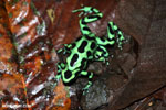 Green-and-black poison dart frogs fighting [costa_rica_la_selva_1064]