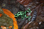 Green-and-black poison dart frogs fighting [costa_rica_la_selva_1066]