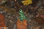 Green-and-black poison dart frogs fighting [costa_rica_la_selva_1067]