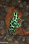 Green-and-black poison dart frogs fighting [costa_rica_la_selva_1068]