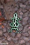 Green-and-black poison dart frogs fighting [costa_rica_la_selva_1072]