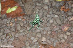 Green-and-black poison dart frogs fighting [costa_rica_la_selva_1074]