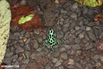 Green-and-black poison dart frogs fighting [costa_rica_la_selva_1075]