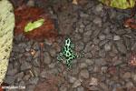 Green-and-black poison dart frogs fighting [costa_rica_la_selva_1075]