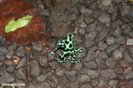 Green-and-black poison dart frogs fighting [costa_rica_la_selva_1078]