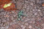 Green-and-black poison dart frogs fighting [costa_rica_la_selva_1080]