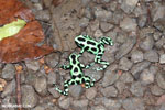 Green-and-black poison dart frogs fighting [costa_rica_la_selva_1088]