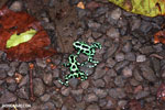 Green-and-black poison dart frogs fighting [costa_rica_la_selva_1089]