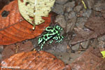 Green-and-black poison dart frogs fighting [costa_rica_la_selva_1091]