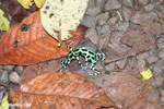 Green-and-black poison dart frogs fighting [costa_rica_la_selva_1092]