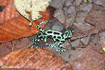 Green-and-black poison dart frogs fighting [costa_rica_la_selva_1093]