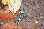Green-and-black poison dart frogs fighting [costa_rica_la_selva_1096]