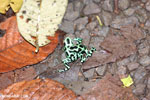 Green-and-black poison dart frogs fighting [costa_rica_la_selva_1098]