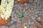 Green-and-black poison dart frogs fighting [costa_rica_la_selva_1100]