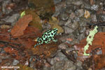 Green-and-black poison dart frogs fighting [costa_rica_la_selva_1110]