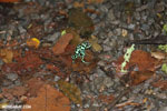 Green-and-black poison dart frogs fighting [costa_rica_la_selva_1112]