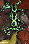 Green-and-black poison dart frogs fighting [costa_rica_la_selva_1115]