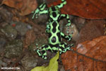 Green-and-black poison dart frogs fighting [costa_rica_la_selva_1116]
