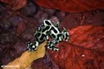 Green-and-black poison dart frogs fighting [costa_rica_la_selva_1117]