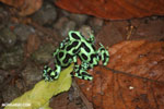 Green-and-black poison dart frogs fighting [costa_rica_la_selva_1118]