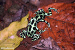 Green-and-black poison dart frogs fighting [costa_rica_la_selva_1121]