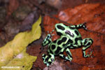 Green-and-black poison dart frogs fighting [costa_rica_la_selva_1123]