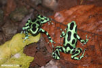 Green-and-black poison dart frogs fighting [costa_rica_la_selva_1126]