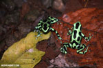 Green-and-black poison dart frogs fighting [costa_rica_la_selva_1127]