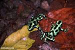 Green-and-black poison dart frogs fighting [costa_rica_la_selva_1128]