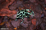 Green-and-black poison dart frogs fighting [costa_rica_la_selva_1134]