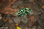 Green-and-black poison dart frogs fighting [costa_rica_la_selva_1135]