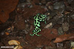 Green-and-black poison dart frogs fighting [costa_rica_la_selva_1140]