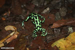 Green-and-black poison dart frogs fighting [costa_rica_la_selva_1143]