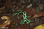 Green-and-black poison dart frogs fighting [costa_rica_la_selva_1145]