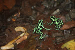 Green-and-black poison dart frogs fighting [costa_rica_la_selva_1147]