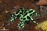 Green-and-black poison dart frogs fighting [costa_rica_la_selva_1148]