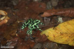Green-and-black poison dart frogs fighting [costa_rica_la_selva_1149]