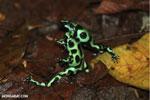 Green-and-black poison dart frogs fighting [costa_rica_la_selva_1150]