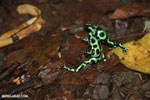 Green-and-black poison dart frogs fighting [costa_rica_la_selva_1151]