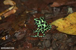 Green-and-black poison dart frogs fighting [costa_rica_la_selva_1153]