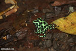 Green-and-black poison dart frogs fighting [costa_rica_la_selva_1154]