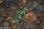 Green-and-black poison dart frogs fighting [costa_rica_la_selva_1156]