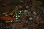 Green-and-black poison dart frogs fighting [costa_rica_la_selva_1160]